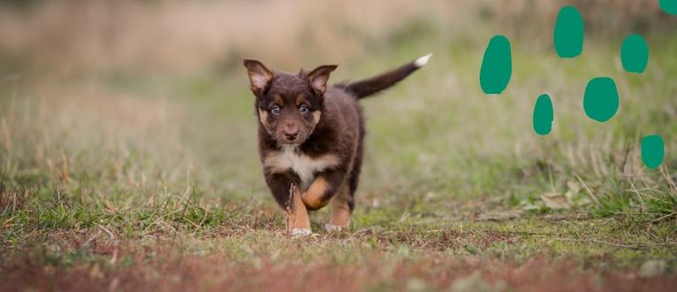 Koiranpentu juoksee